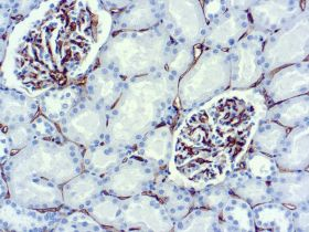 CD34, Clone QBEND/10, 10mL